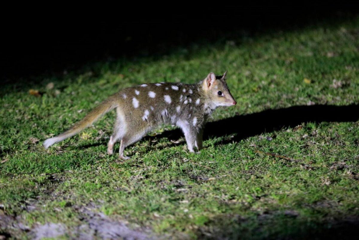 RiNU - ANiMOZ - Eastern Quoll - Rewilding Australia