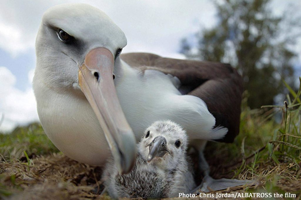 ALBATROSS the film, ANiMOZ, Endangered species, plastic, pollution