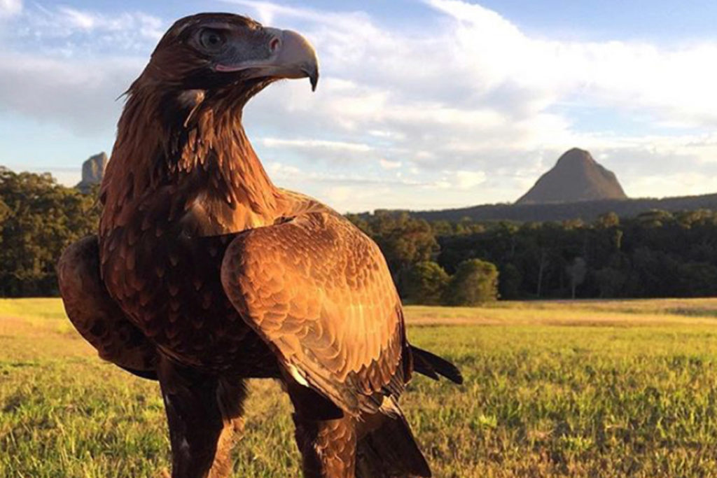 AUDAX - Know Your Species - ANiMOZ - Wedge-tailed Eagle - Australian Eagle - Tbonesjones