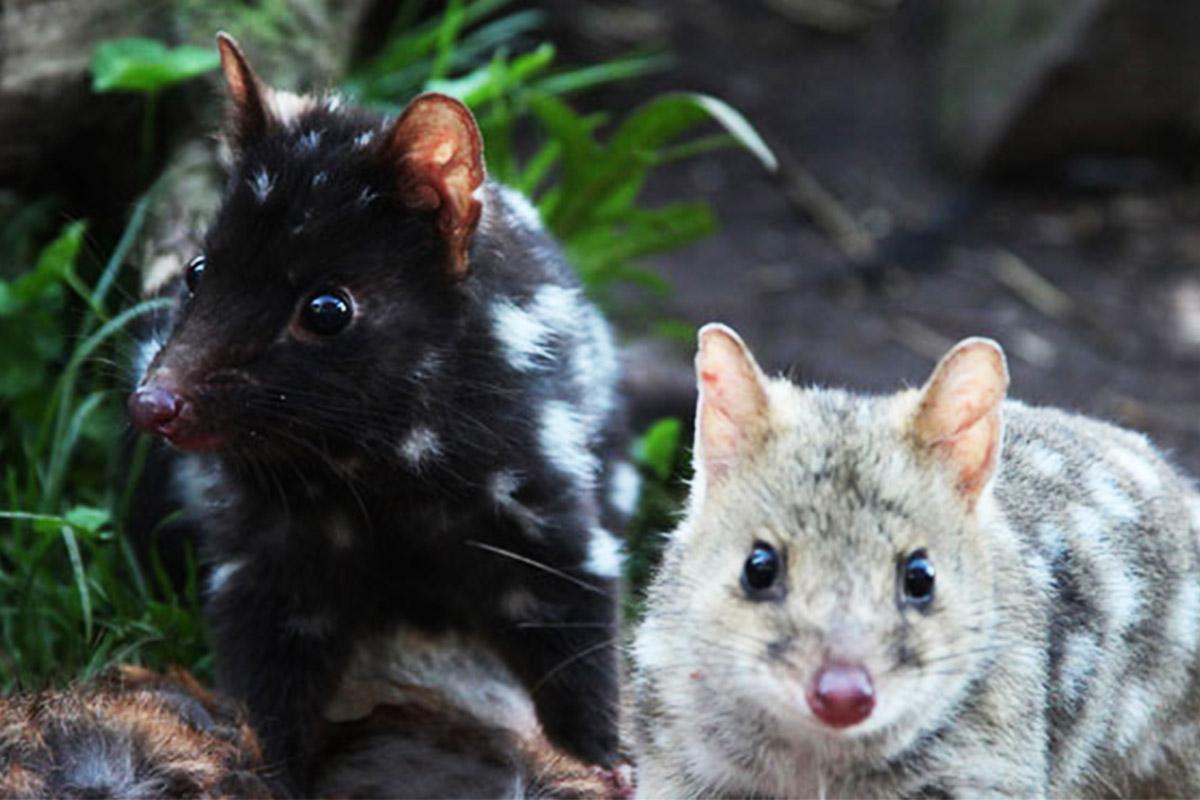 RiNU, Eastern quoll, Dasyurus viverrinus, ANiMOZ - Fight for Survival, Australian animal card game, game for kids, Australia, Endangered species