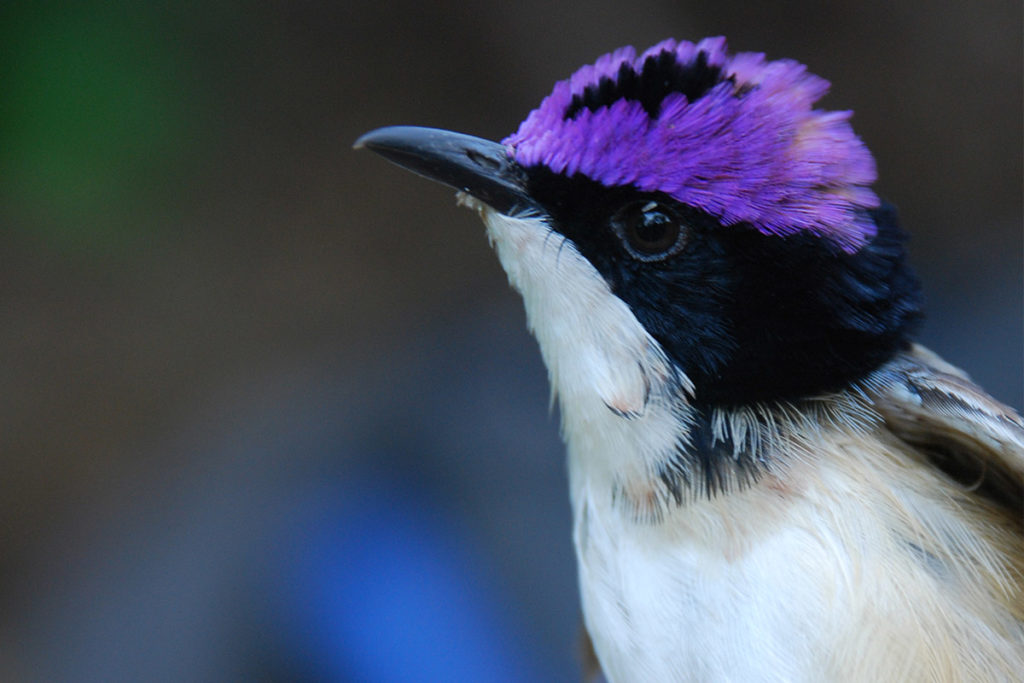 Purple-crowned Fairy-wren photo - The ANiMOZ Aussie Wildlife Vote 2020 - ANiMOZ Booster Pack - Conservation - Australian animals - Endangered species
