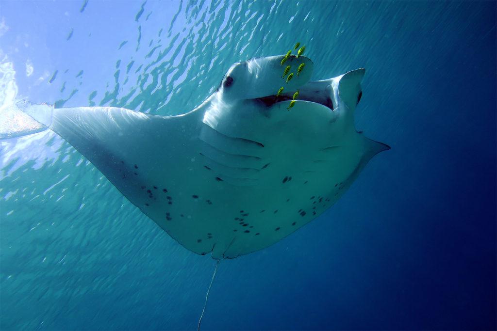 Reef Manta Rayphoto - The ANiMOZ Aussie Wildlife Vote 2020 - ANiMOZ Booster Pack