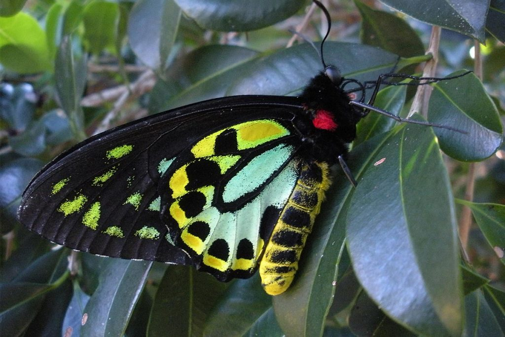Richmond birdwing butterfly photo - The ANiMOZ Aussie Wildlife Vote 2020 - ANiMOZ Booster Pack - Conservation - Australian animals - Endangered species