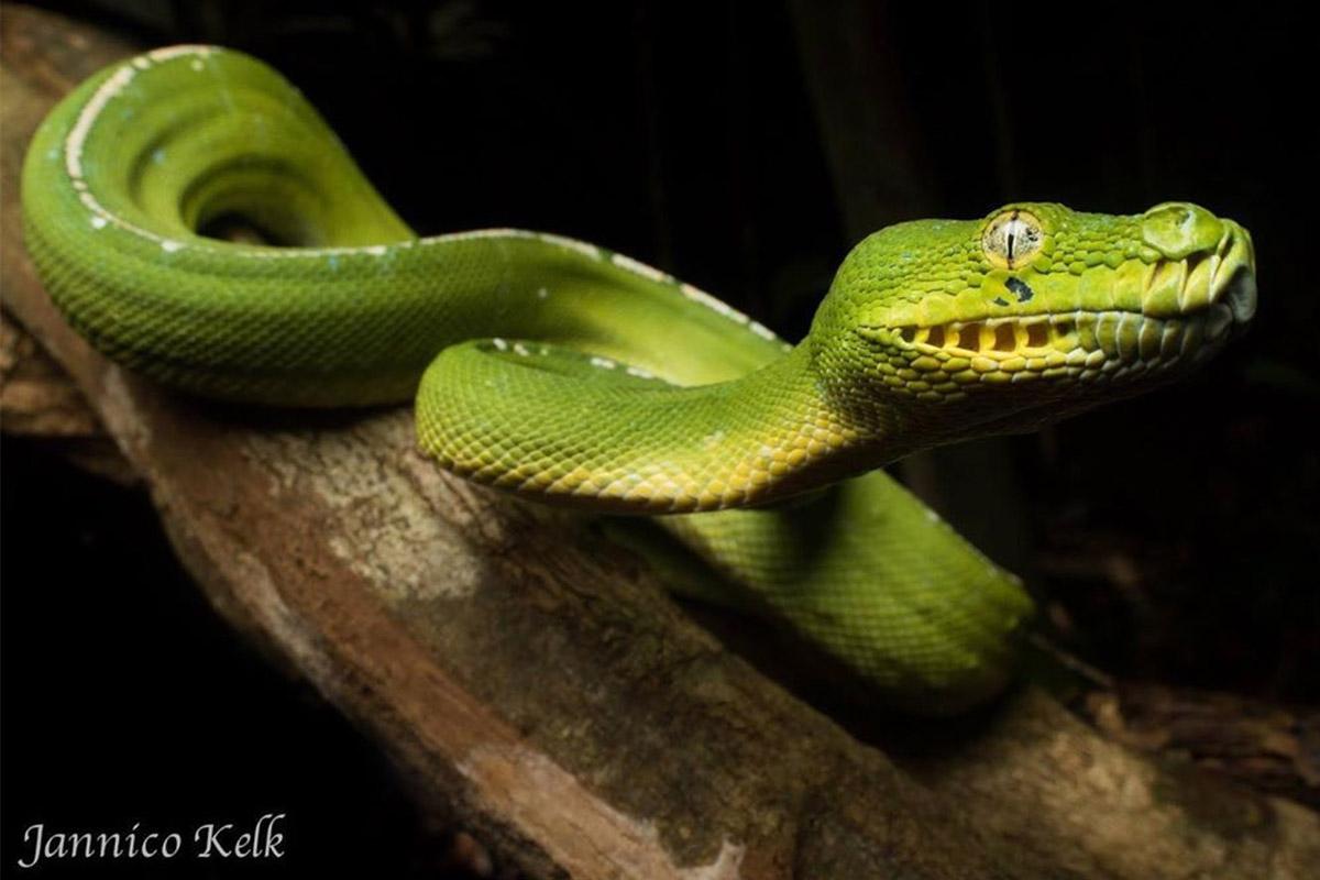 ViRiD - Green tree python - Australian snakes - Jannico Kelk - ANiMOZ - Trading card game - Australian animals